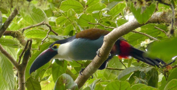 A Black-billed Mountain-Toucan (Andigena nigrirostris) coming to scold  Fausto Recalde. Photo: Fausto Recalde/EcoMinga.