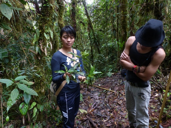 Click to enlarge. Yajaira Malucín and Efren Merino-Santi, students at the Universidad Estatal Amazonica, in the Magnolia habitat of our Rio Zunac Reserve. Yajaira holds the precious flower buds of M. llanganatensis collected in the canopy by Luis and Fausto Recalde, our reserve guards. Photo: Lou Jost/EcoMinga.