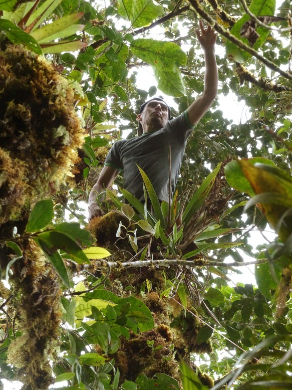 Luis Recalde collecting specimens in the canopy for Dr Vazquez. Photo: Lou Jost/EcoMinga.