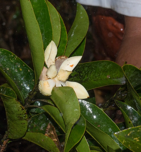 The opening bud of what would later be named Magnolia llanganatensis. Photo: Lou Jost/EcoMinga.