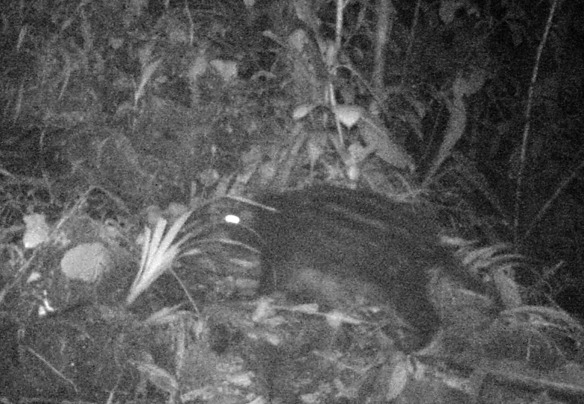 Pacarana (Dinomys branickii) captured at night by Sebastian's infrared camera trap.