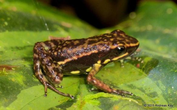 Epipedobates darwinwallacei. Photo by Andreas Kay, from his site, EcuadorMegadiverso.