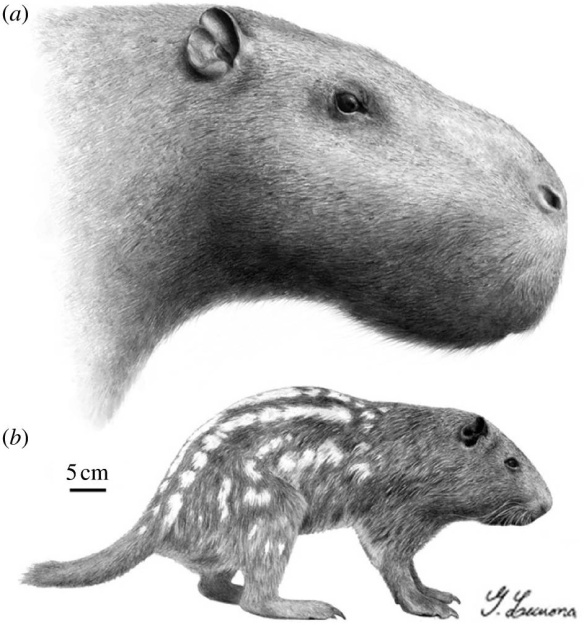 The living Pacarana (Dinomys branickii, below) and its extinct relative, Josephoartigasia monesi. Figure 3 from Rinderknecht and Blanco (2008).
