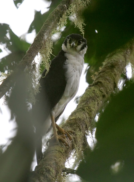 130518908-mxydrlcj-collaredforestfalcon