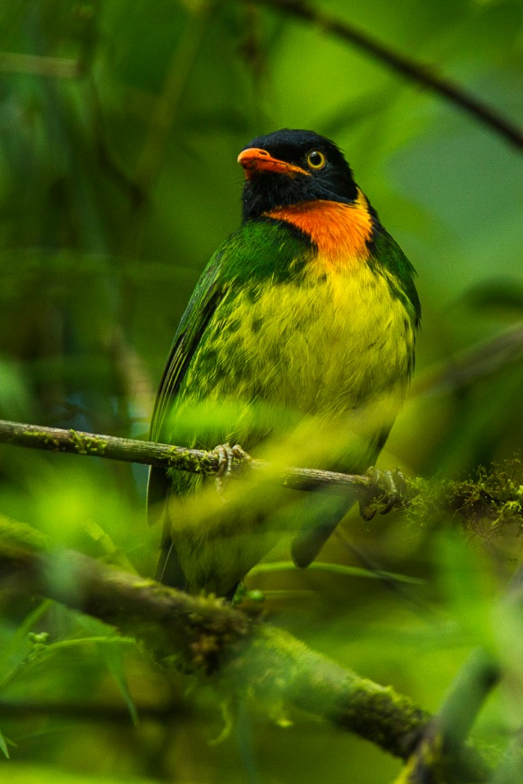 Orange-breasted_Fruiteater_-_Mindo_-_Ecuador_S4E5422