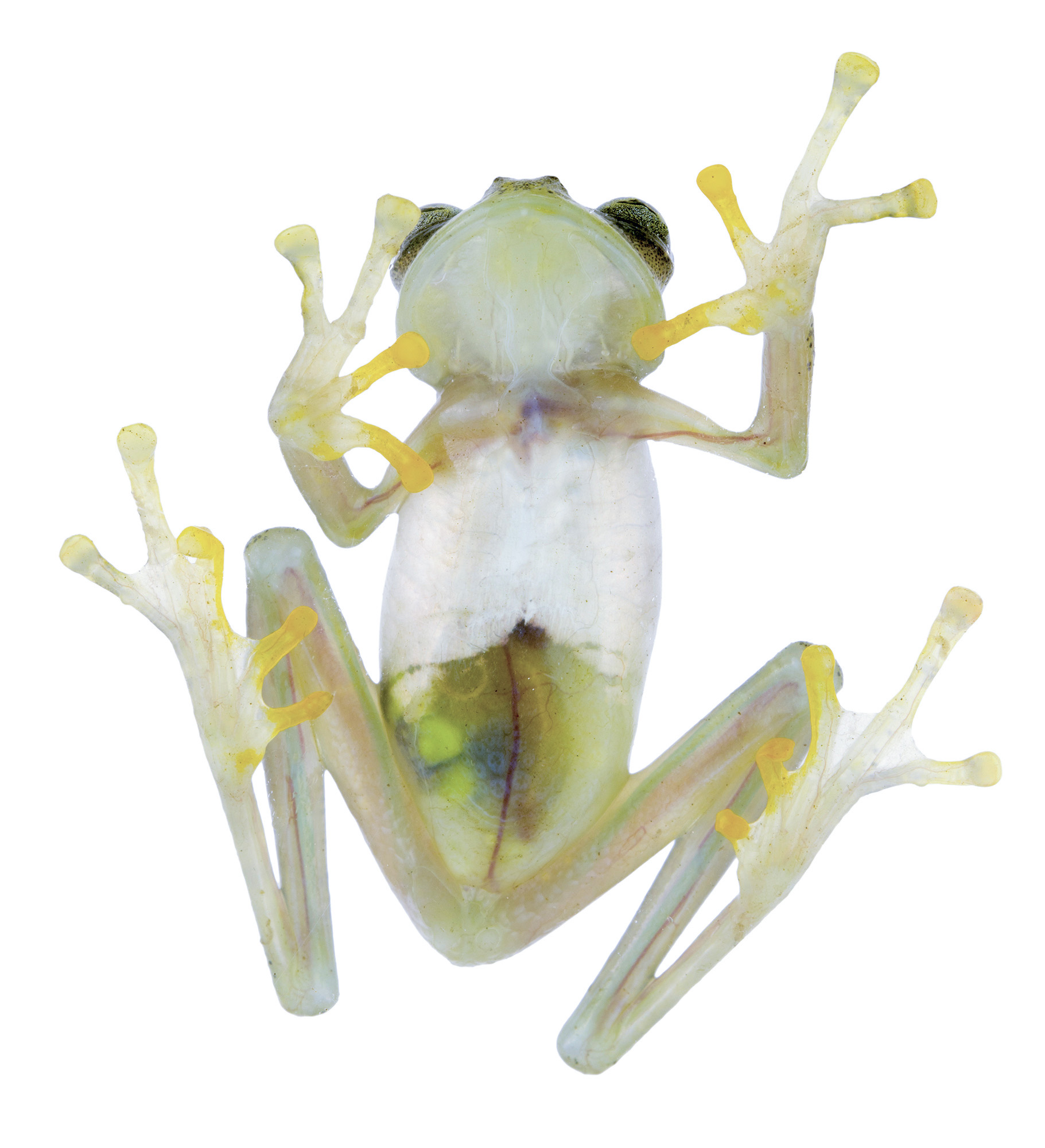 A new glass frog has been discovered in our Manduriacu Reserve