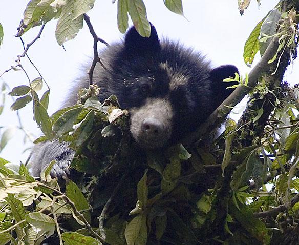 Bear1633v2