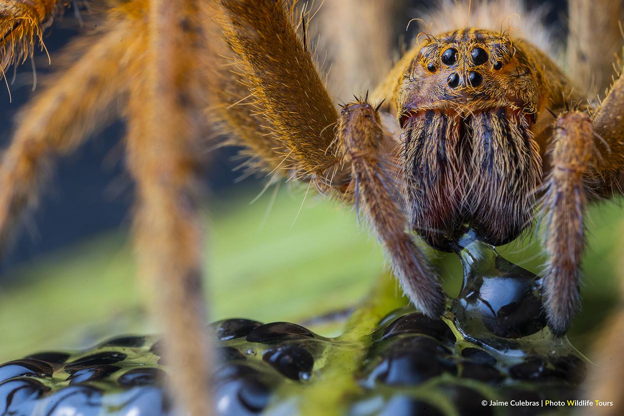 _DSC5741_Spider&Glassfrog_Manduriacu