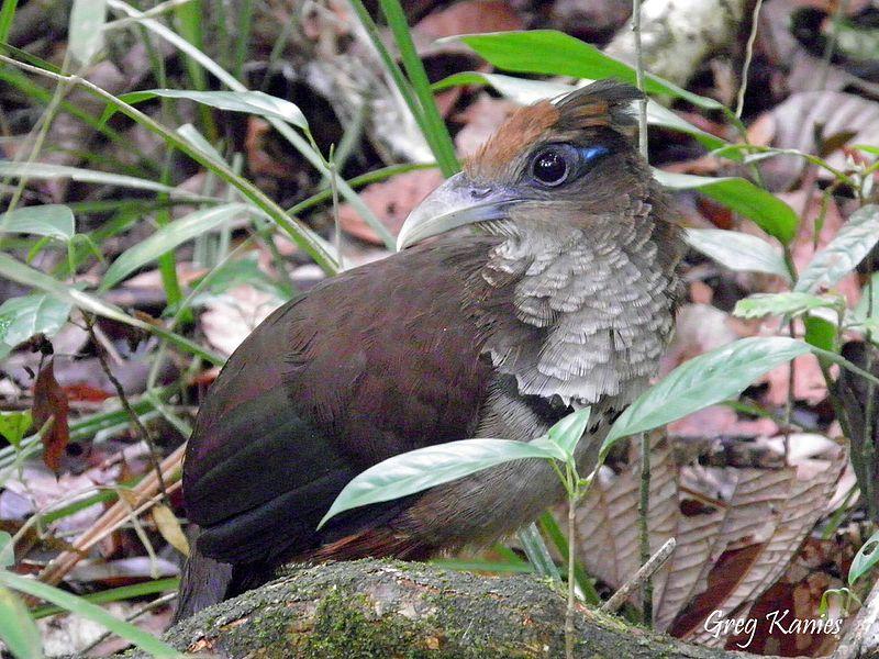 Rufous-vented_Ground_Cuckoo
