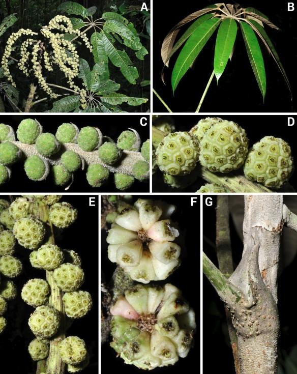 Sciodaphyllum merinoi