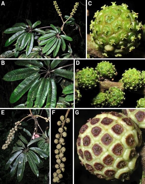 Sciodaphyllum purocafeanum