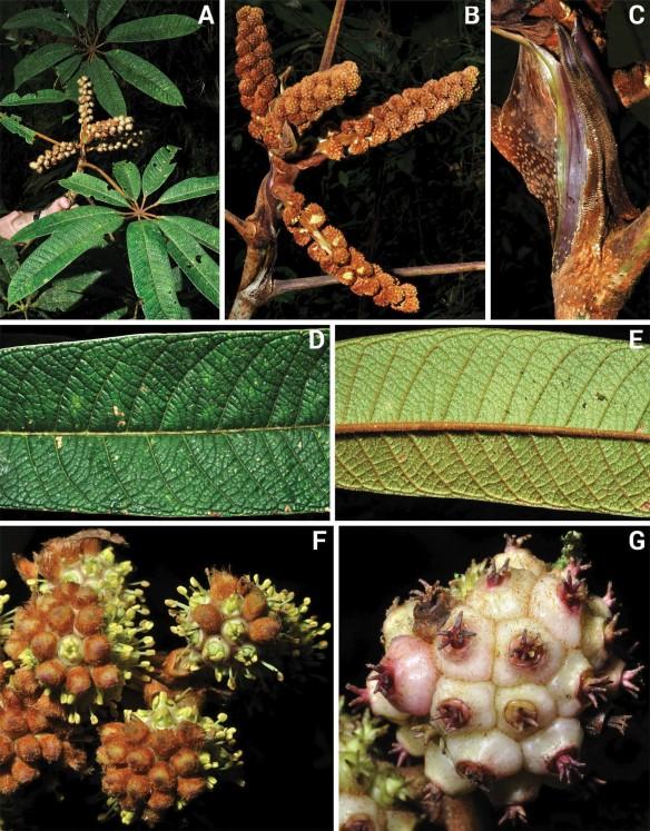 Sciodaphyllum recaldiorum