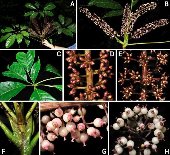 Sciodaphyllum zunacense